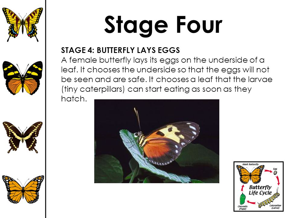 Stage Four STAGE 4: BUTTERFLY LAYS EGGS
