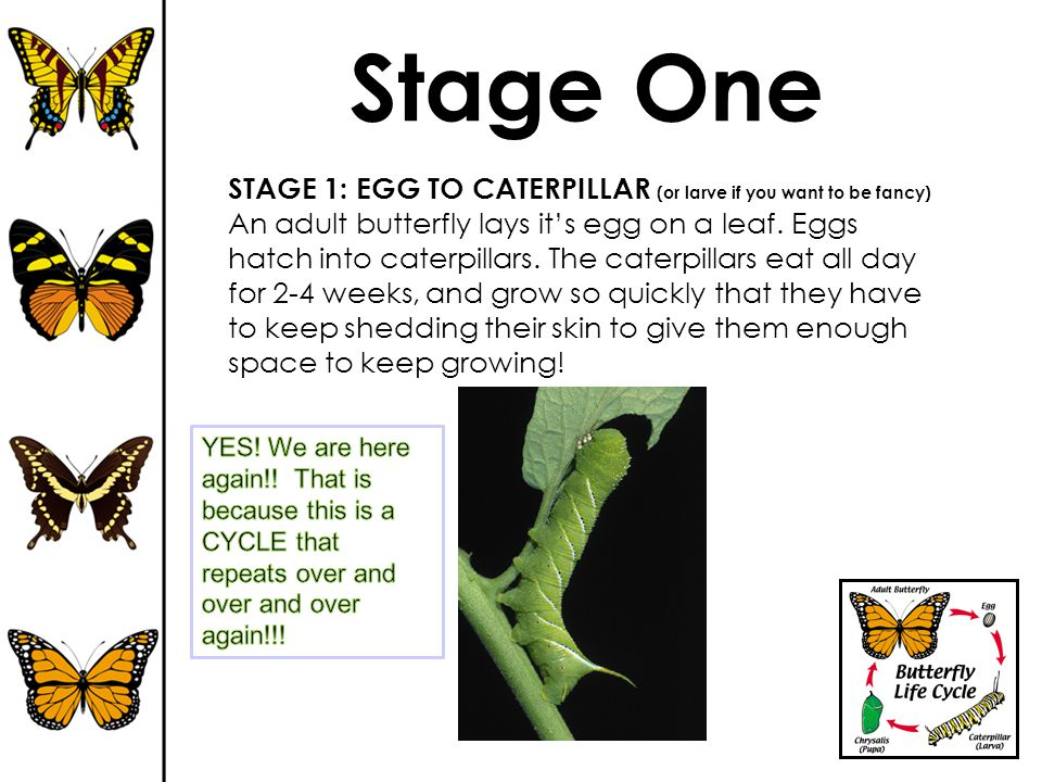 Stage One STAGE 1: EGG TO CATERPILLAR (or larve if you want to be fancy)