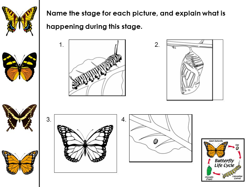 Name the stage for each picture, and explain what is happening during this stage.