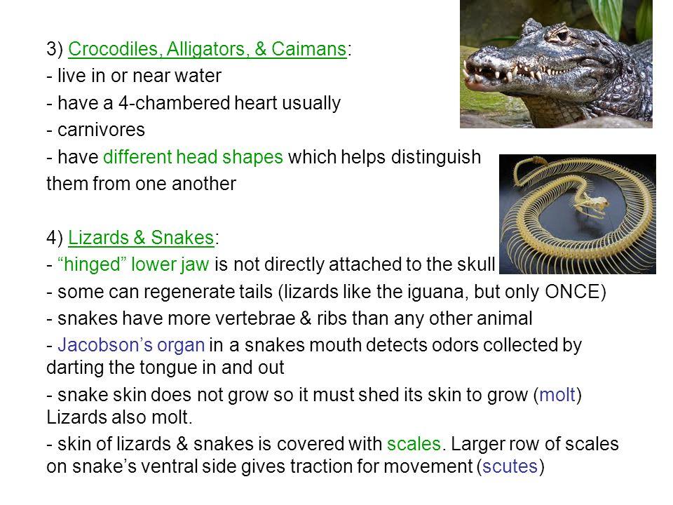 3) Crocodiles, Alligators, & Caimans: