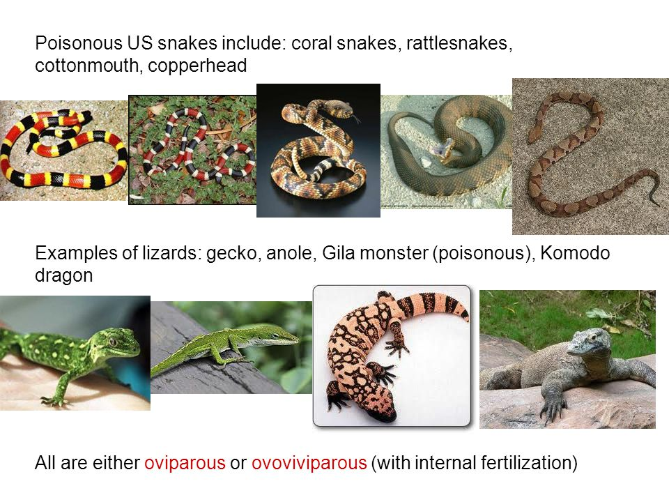 Poisonous US snakes include: coral snakes, rattlesnakes, cottonmouth, copperhead