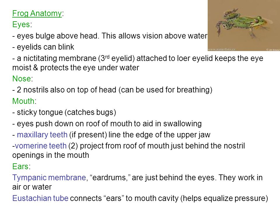 Frog Anatomy: Eyes: - eyes bulge above head. This allows vision above water. - eyelids can blink.