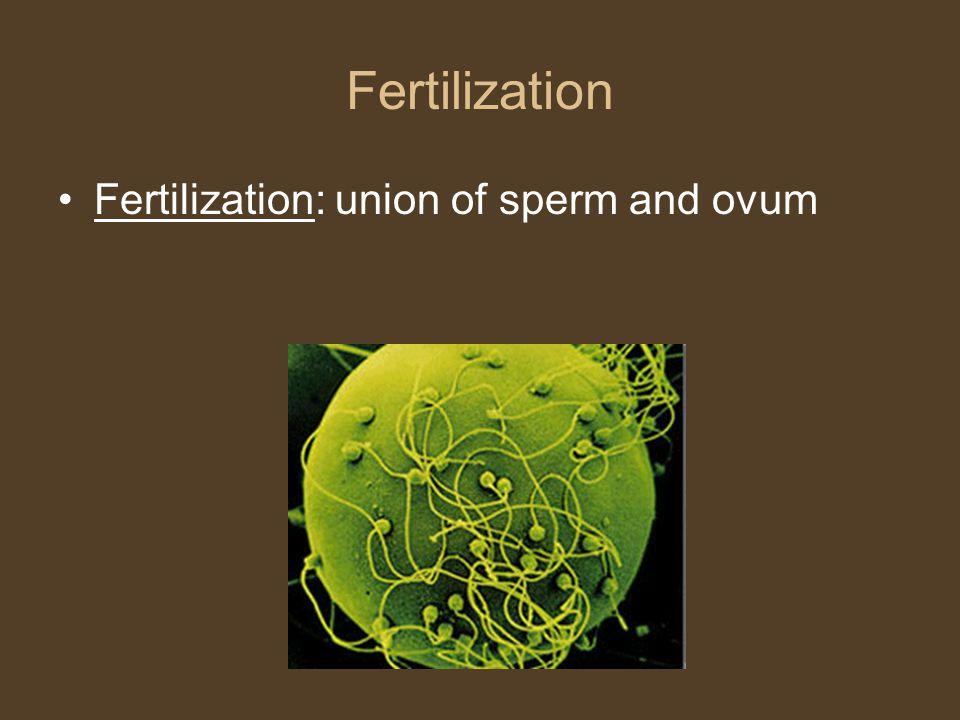 Fertilization Fertilization: union of sperm and ovum