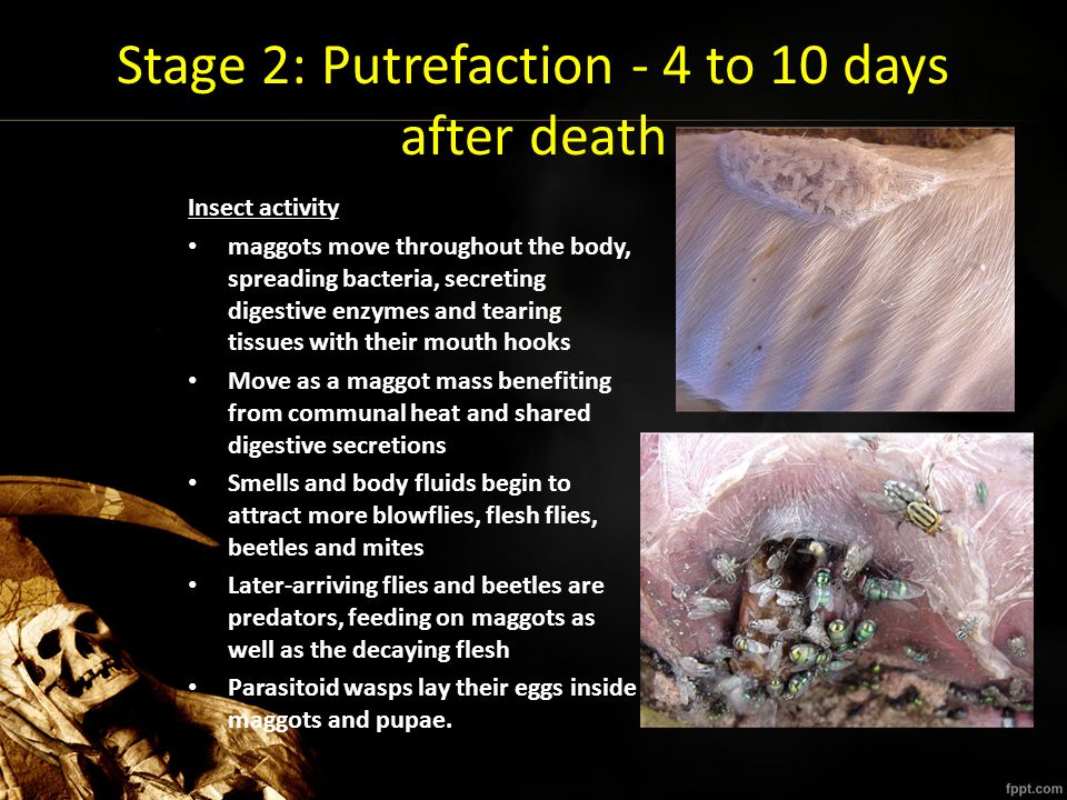 Stage 2: Putrefaction - 4 to 10 days after death