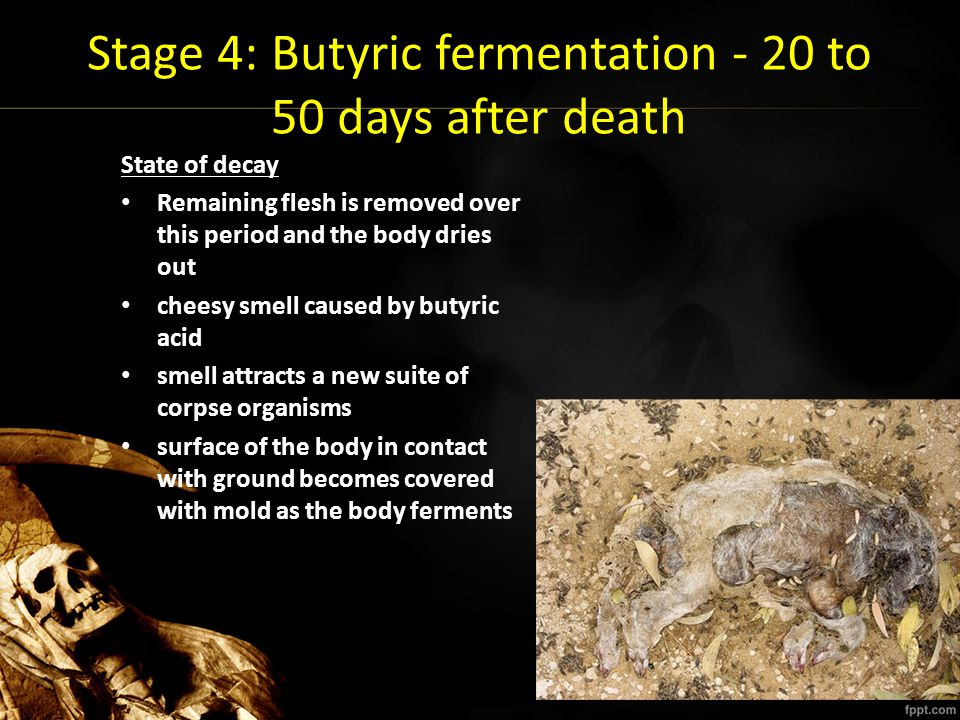 Stage 4: Butyric fermentation - 20 to 50 days after death