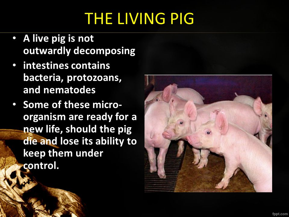 THE LIVING PIG A live pig is not outwardly decomposing