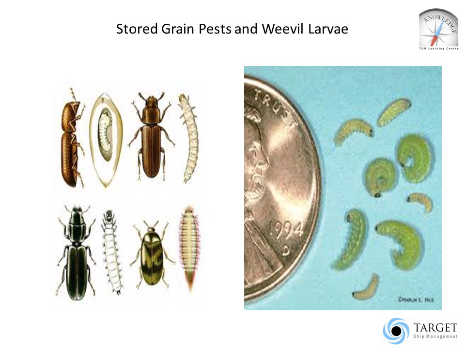 Stored Grain Pests and Weevil Larvae