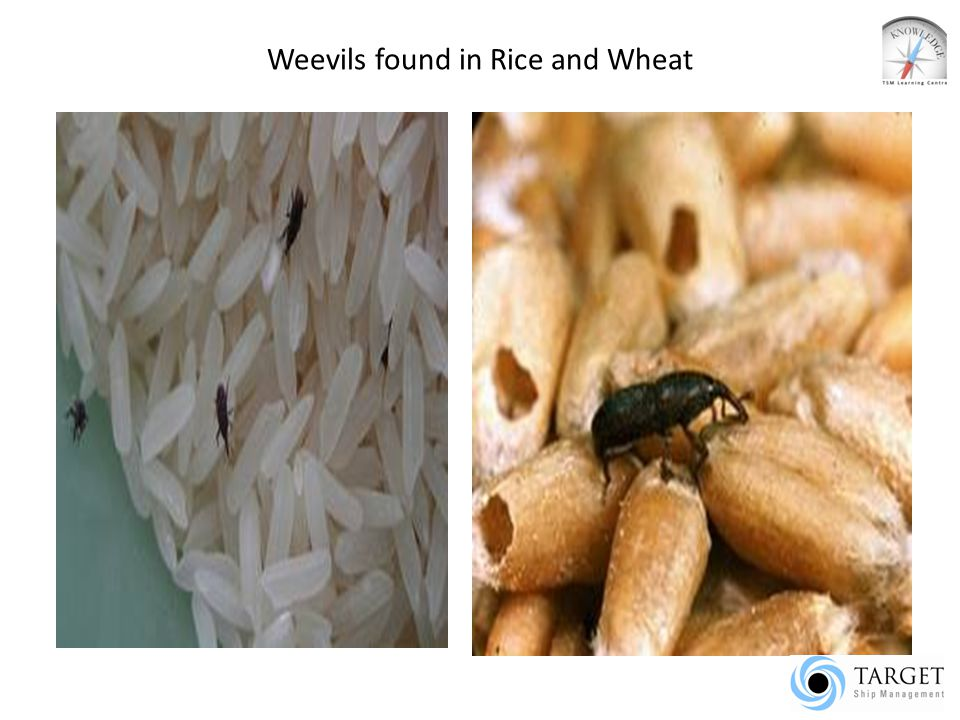 Weevils found in Rice and Wheat