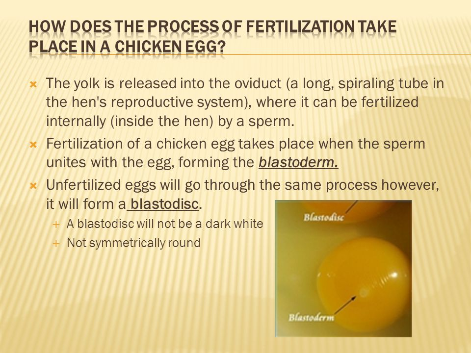 How does the process of fertilization take place in a chicken egg