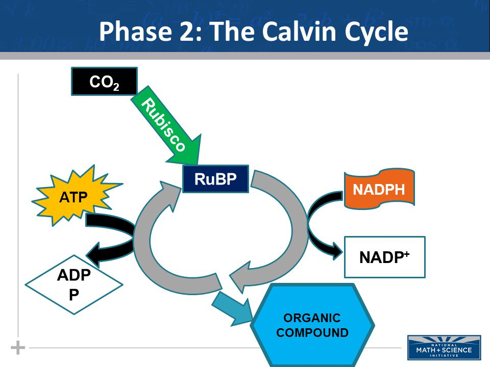 Phase 2: The Calvin Cycle
