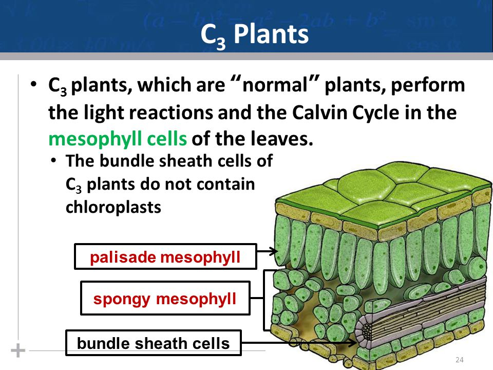 C3 Plants C3 plants, which are normal plants, perform the light reactions and the Calvin Cycle in the mesophyll cells of the leaves.