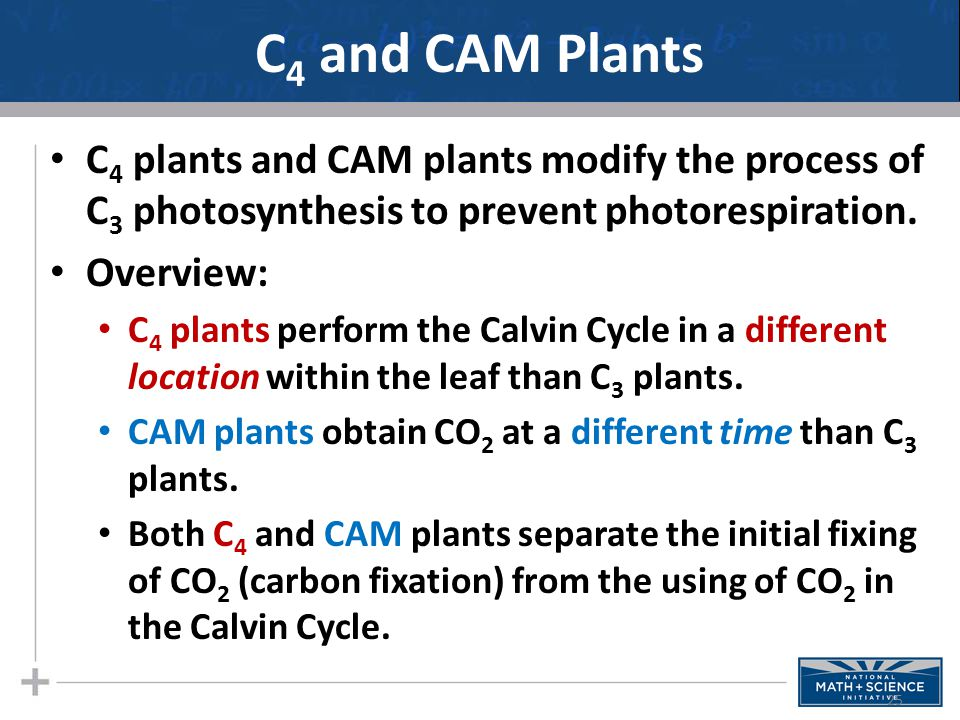 C4 and CAM Plants C4 plants and CAM plants modify the process of C3 photosynthesis to prevent photorespiration.