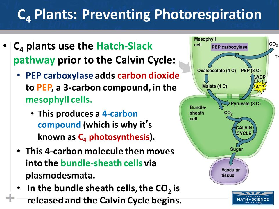 C4 Plants: Preventing Photorespiration