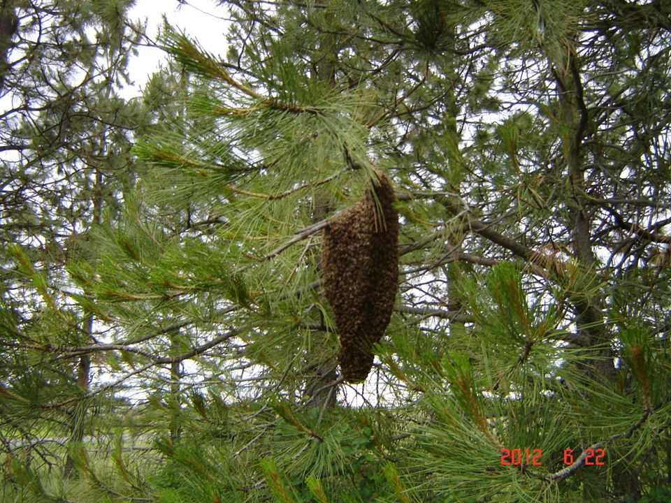 SPLITTING HIVES JUNE 22---SWARM OF BEES
