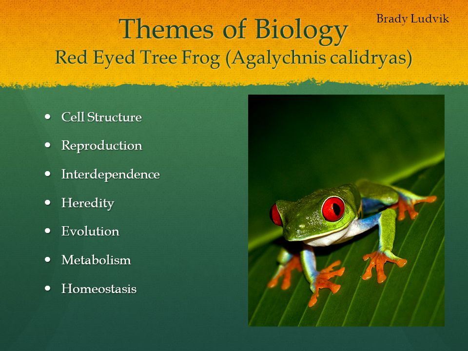 Themes of Biology Red Eyed Tree Frog (Agalychnis calidryas)