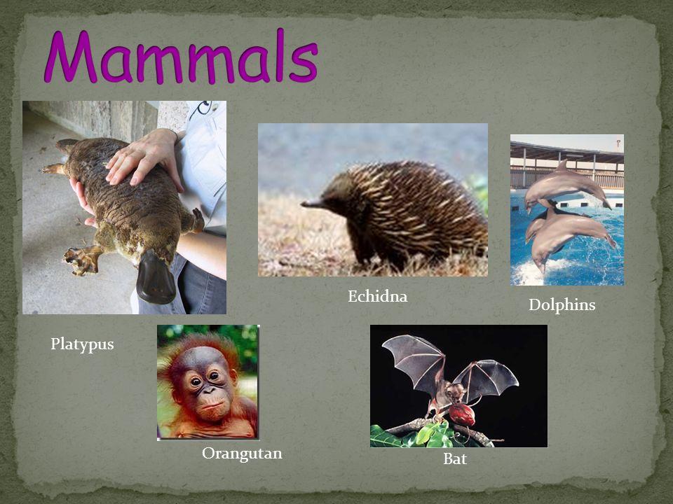 Mammals Echidna Dolphins Platypus Orangutan Bat