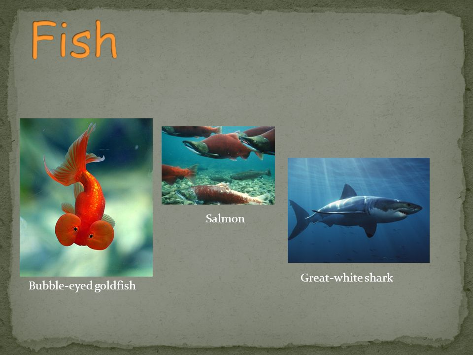 Fish Salmon Great-white shark Bubble-eyed goldfish