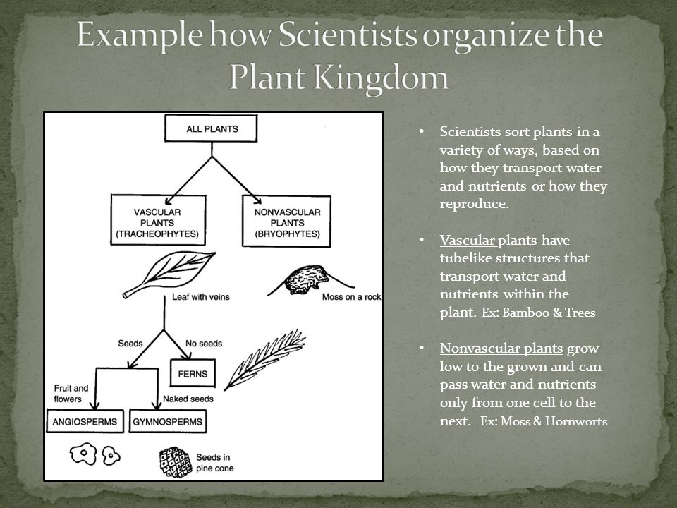 Example how Scientists organize the Plant Kingdom