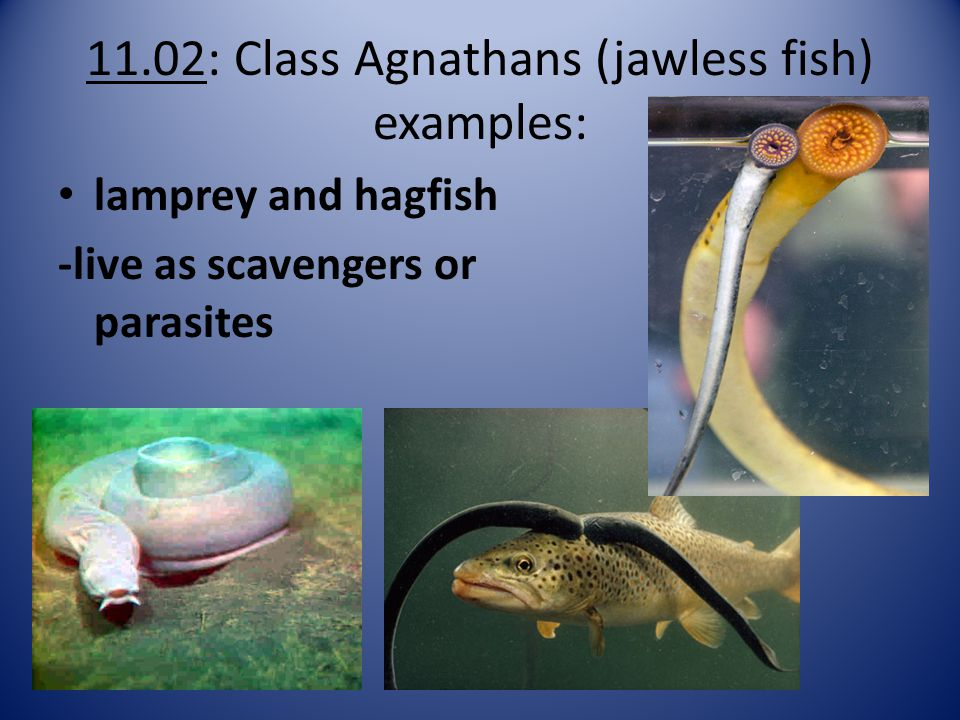 11.02: Class Agnathans (jawless fish) examples:
