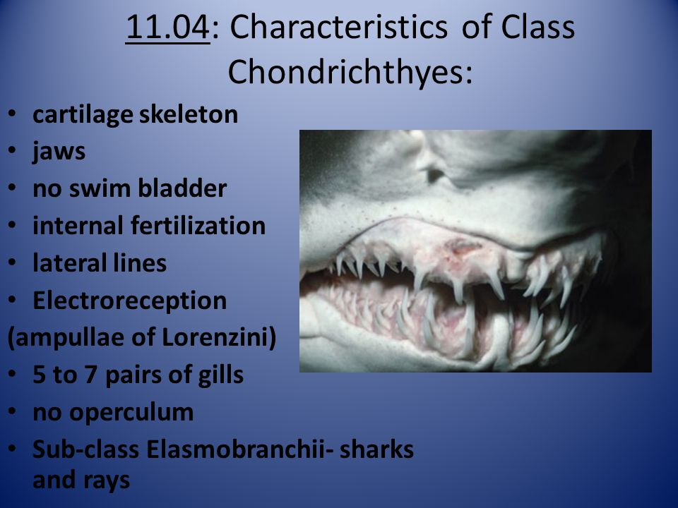 11.04: Characteristics of Class Chondrichthyes: