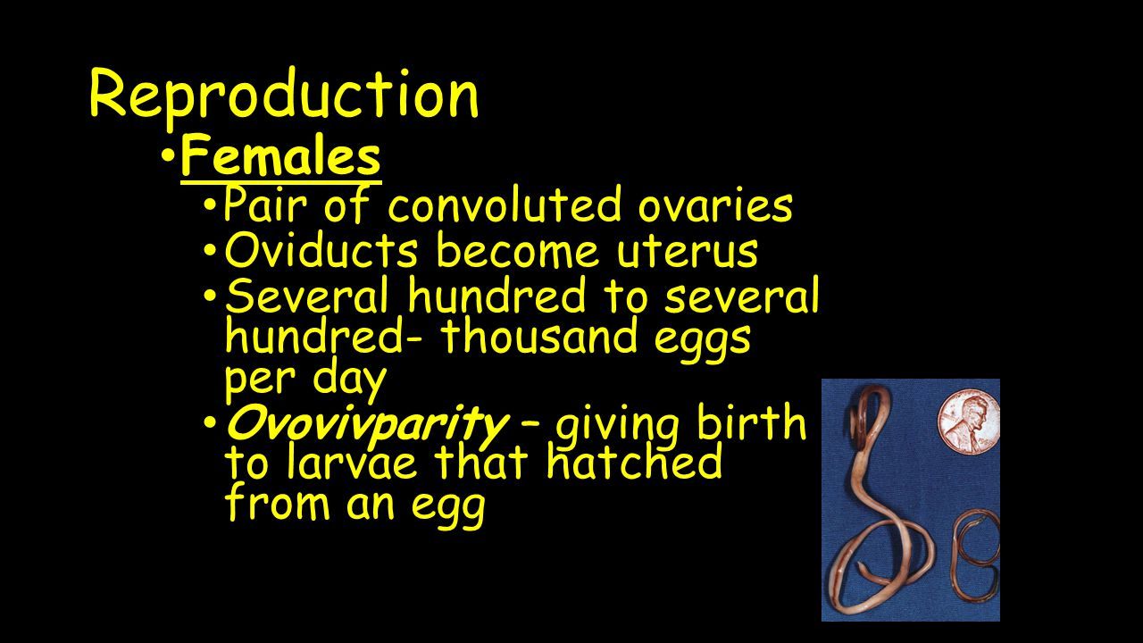 Reproduction Females Pair of convoluted ovaries Oviducts become uterus
