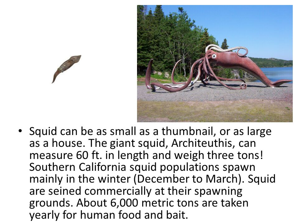 Squid can be as small as a thumbnail, or as large as a house