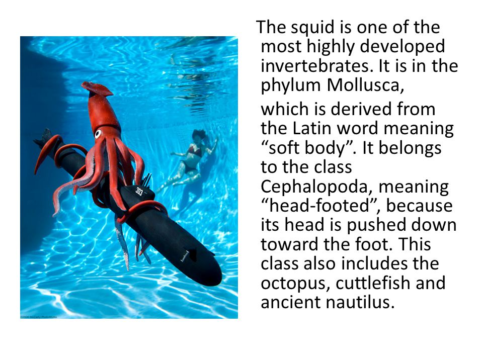 The squid is one of the most highly developed invertebrates