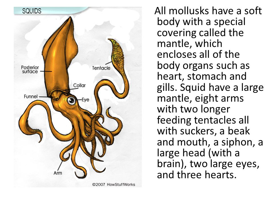 All mollusks have a soft body with a special covering called the mantle, which encloses all of the body organs such as heart, stomach and gills.