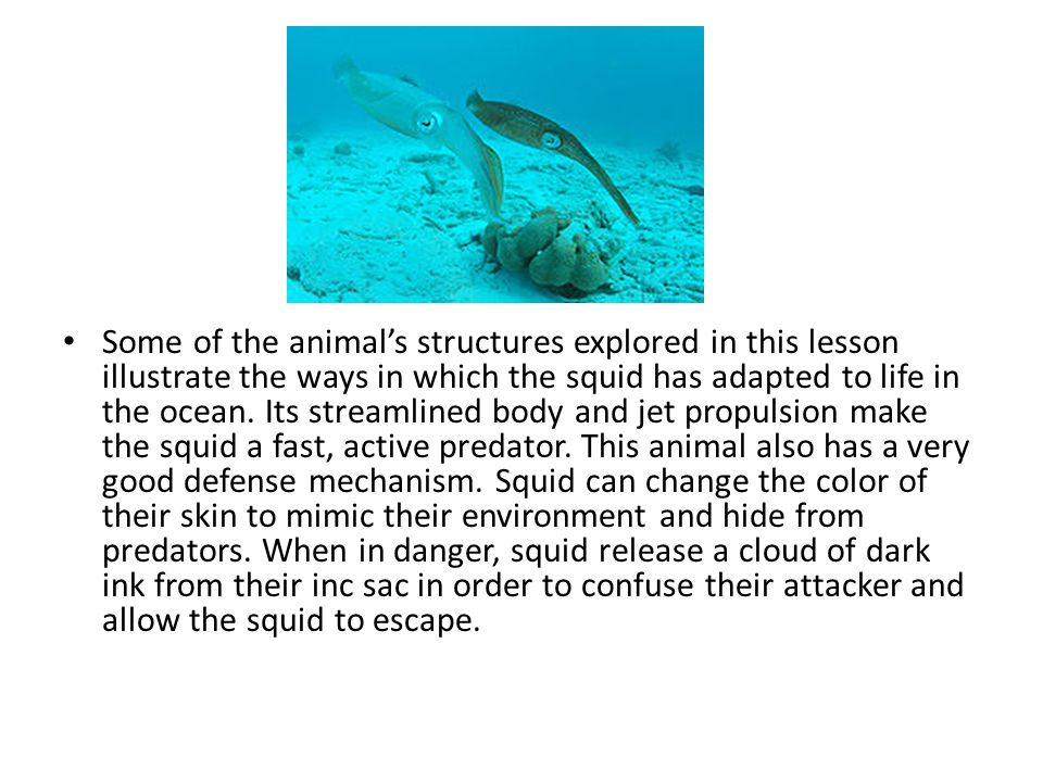 Some of the animal's structures explored in this lesson illustrate the ways in which the squid has adapted to life in the ocean.