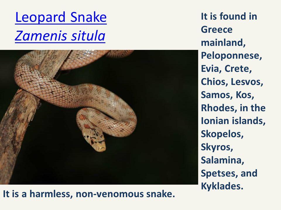 Leopard Snake Zamenis situla
