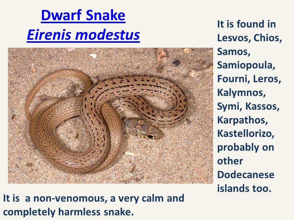 Dwarf Snake Eirenis modestus