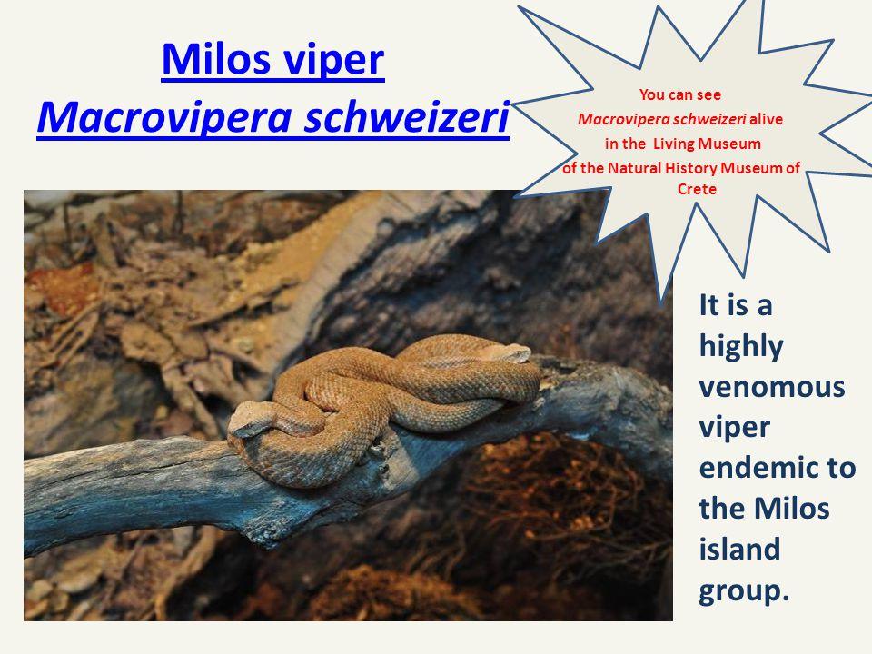 Milos viper Macrovipera schweizeri