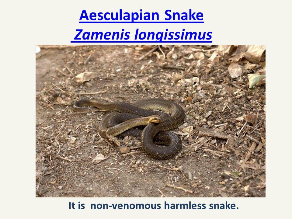 Aesculapian Snake Zamenis longissimus