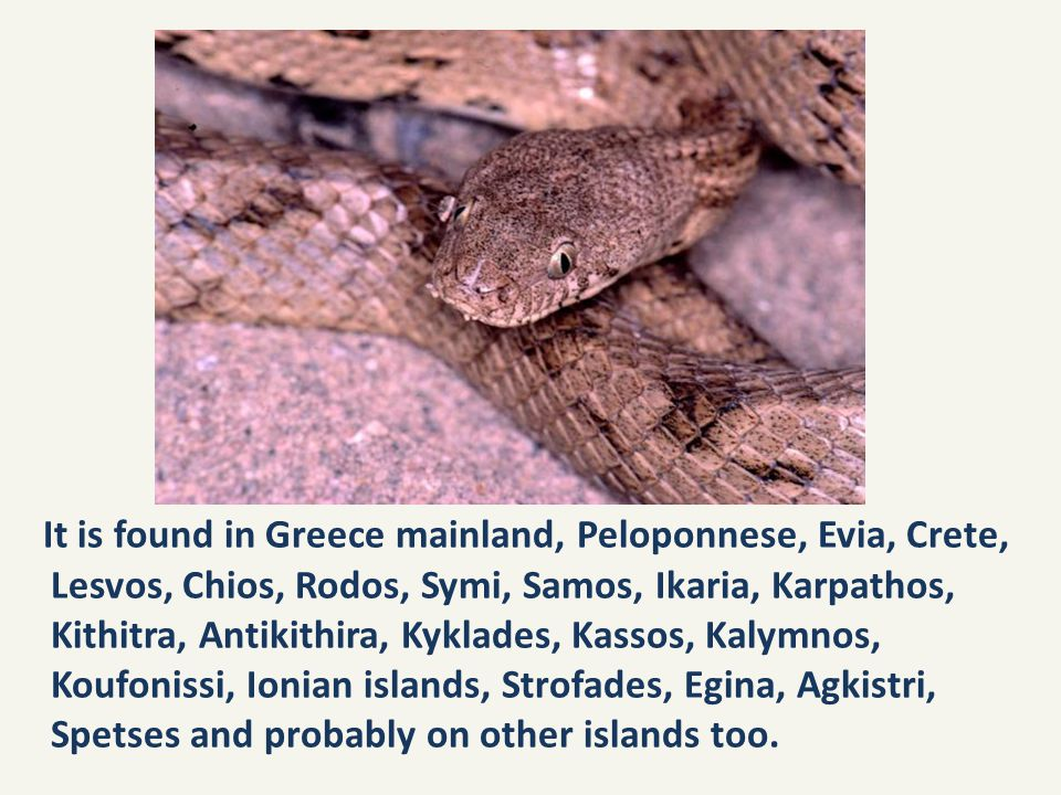 It is found in Greece mainland, Peloponnese, Evia, Crete, Lesvos, Chios, Rodos, Symi, Samos, Ikaria, Karpathos, Kithitra, Antikithira, Kyklades, Kassos, Kalymnos, Koufonissi, Ionian islands, Strofades, Egina, Agkistri, Spetses and probably on other islands too.