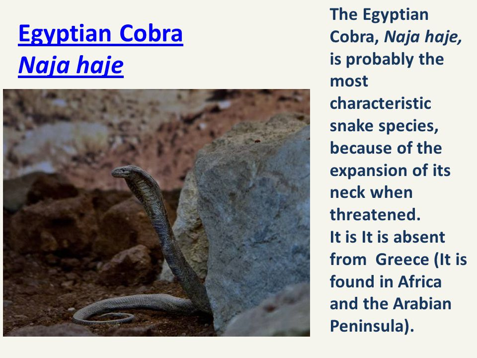 Egyptian Cobra Naja haje