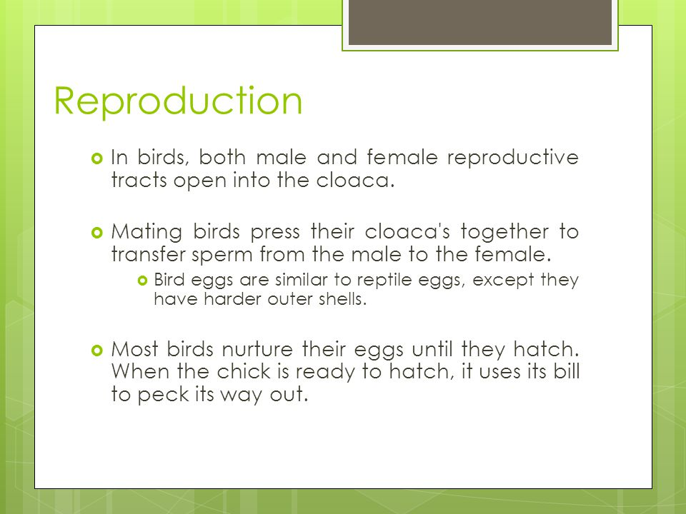 Reproduction In birds, both male and female reproductive tracts open into the cloaca.