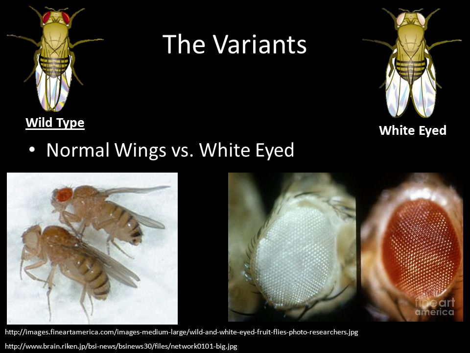 The Variants Normal Wings vs. White Eyed Wild Type White Eyed