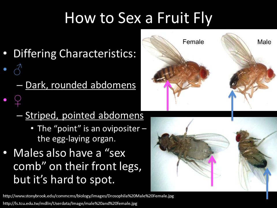 How to Sex a Fruit Fly Differing Characteristics: ♂ ♀