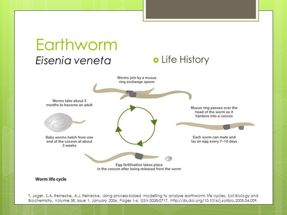 Earthworm Eisenia veneta