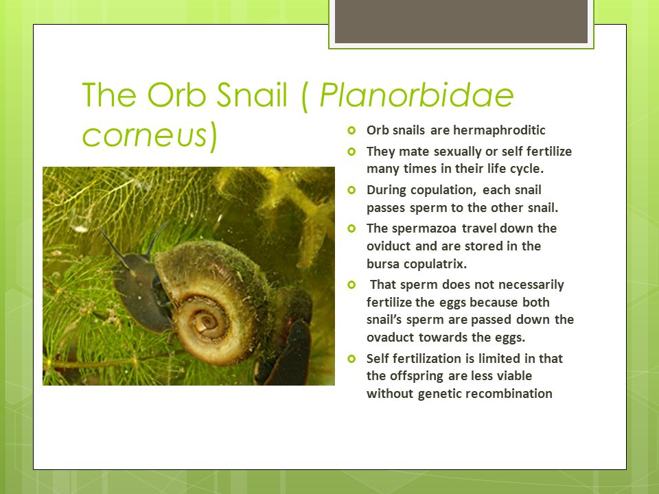 The Orb Snail ( Planorbidae corneus)