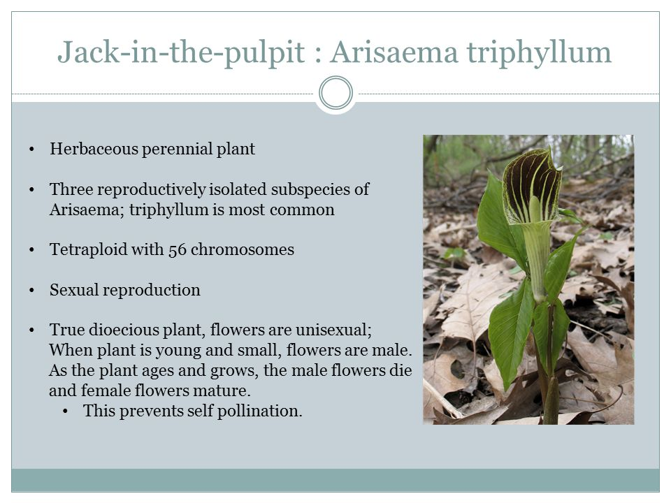 Jack-in-the-pulpit : Arisaema triphyllum