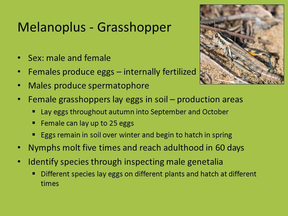 Melanoplus - Grasshopper