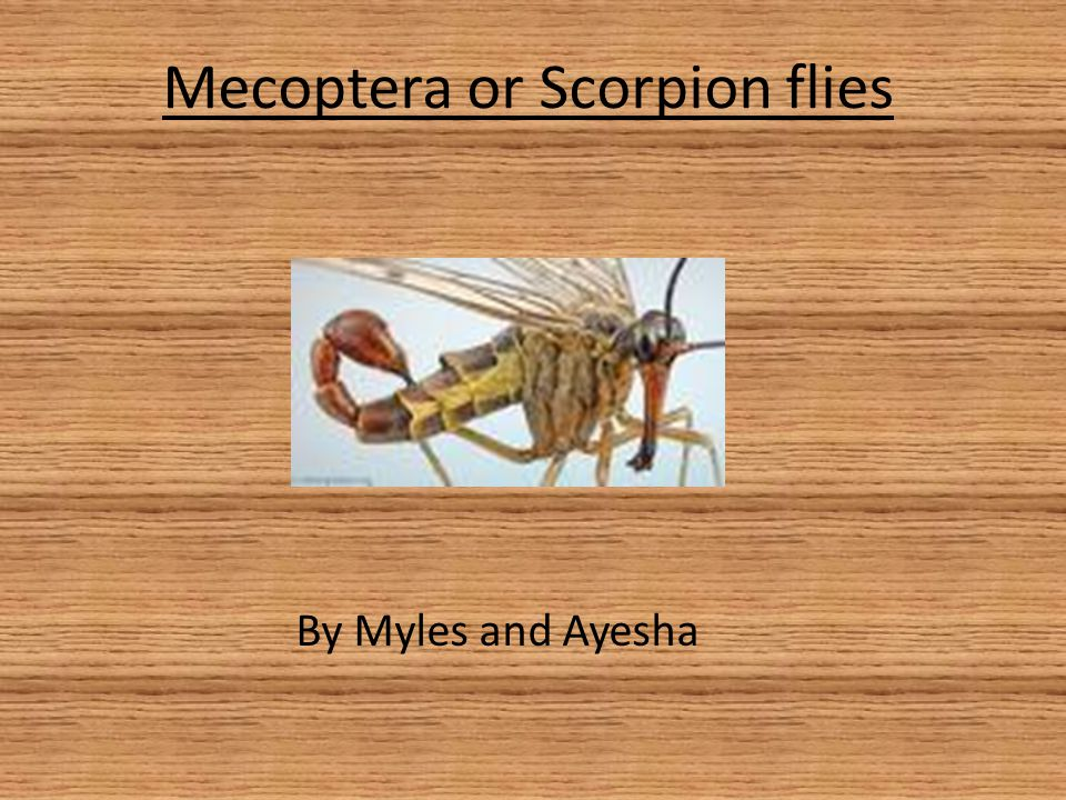 Mecoptera+or+Scorpion+flies mecoptera or scorpion flies ppt video online download