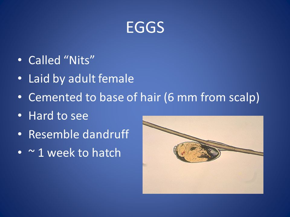 EGGS Called Nits Laid by adult female