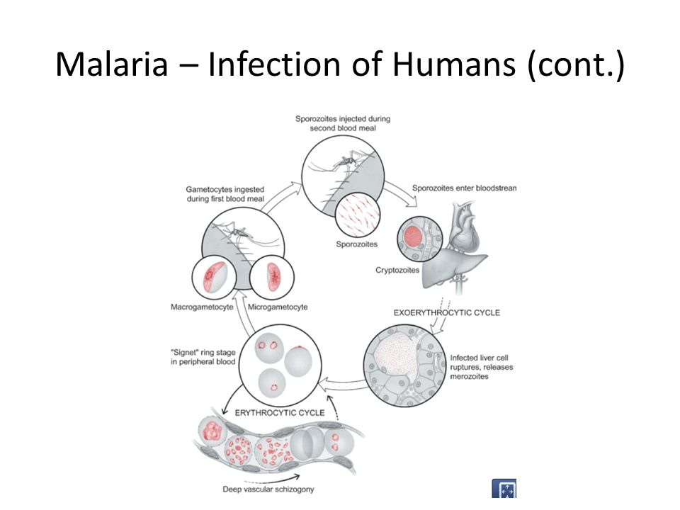 Malaria – Infection of Humans (cont.)