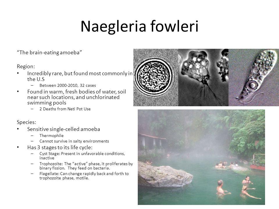 "naegleria fowleri the brain eating amoeba A 'brain-eating amoeba' lurking in the water  naegleria fowleri, the so-called ""brain-eating amoeba"" that resides mostly  naegleria fowleri resides in."