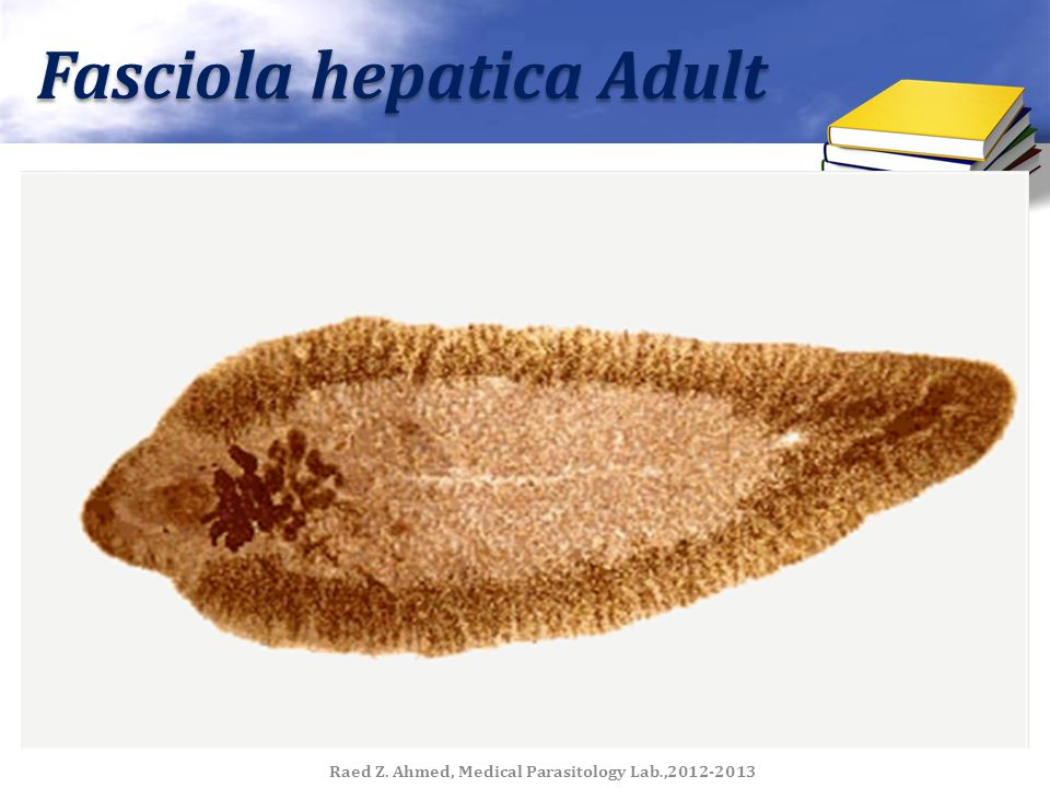 life cycle of fasciola hepatica pdf