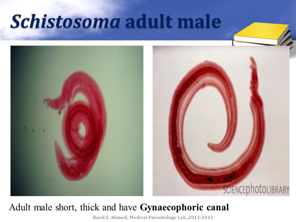 Schistosoma adult male