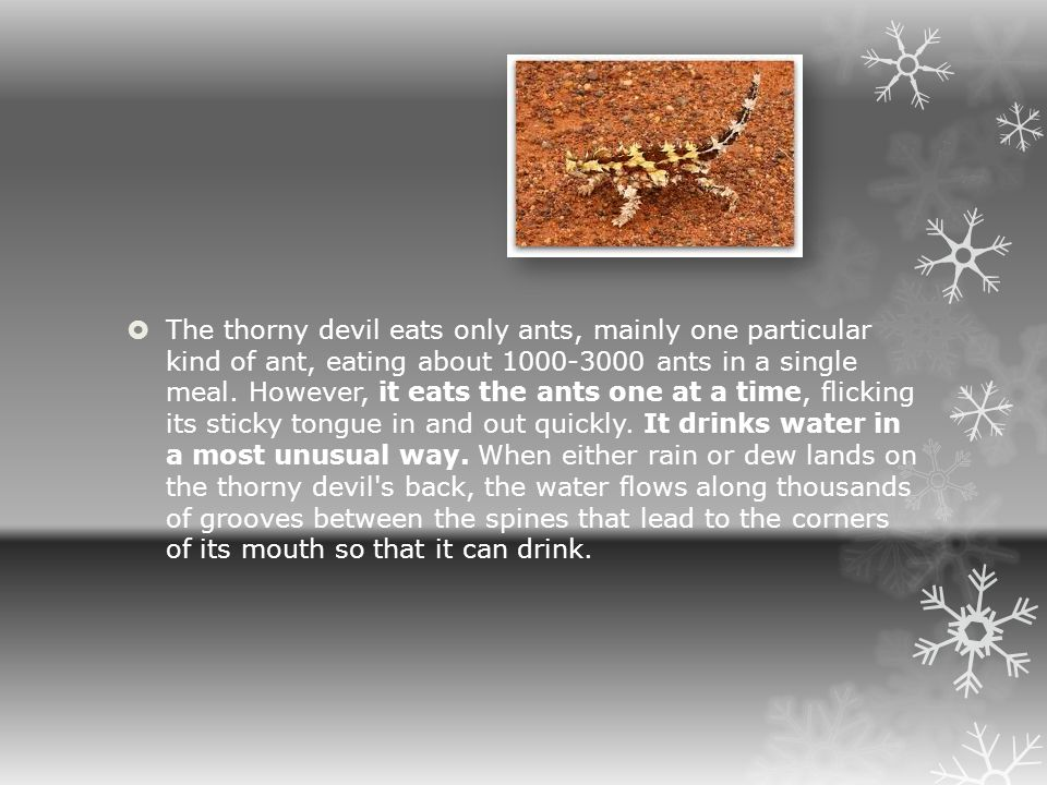 The thorny devil eats only ants, mainly one particular kind of ant, eating about 1000-3000 ants in a single meal.