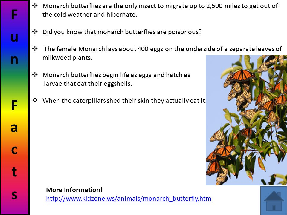 Fun Facts Monarch butterflies are the only insect to migrate up to 2,500 miles to get out of the cold weather and hibernate.